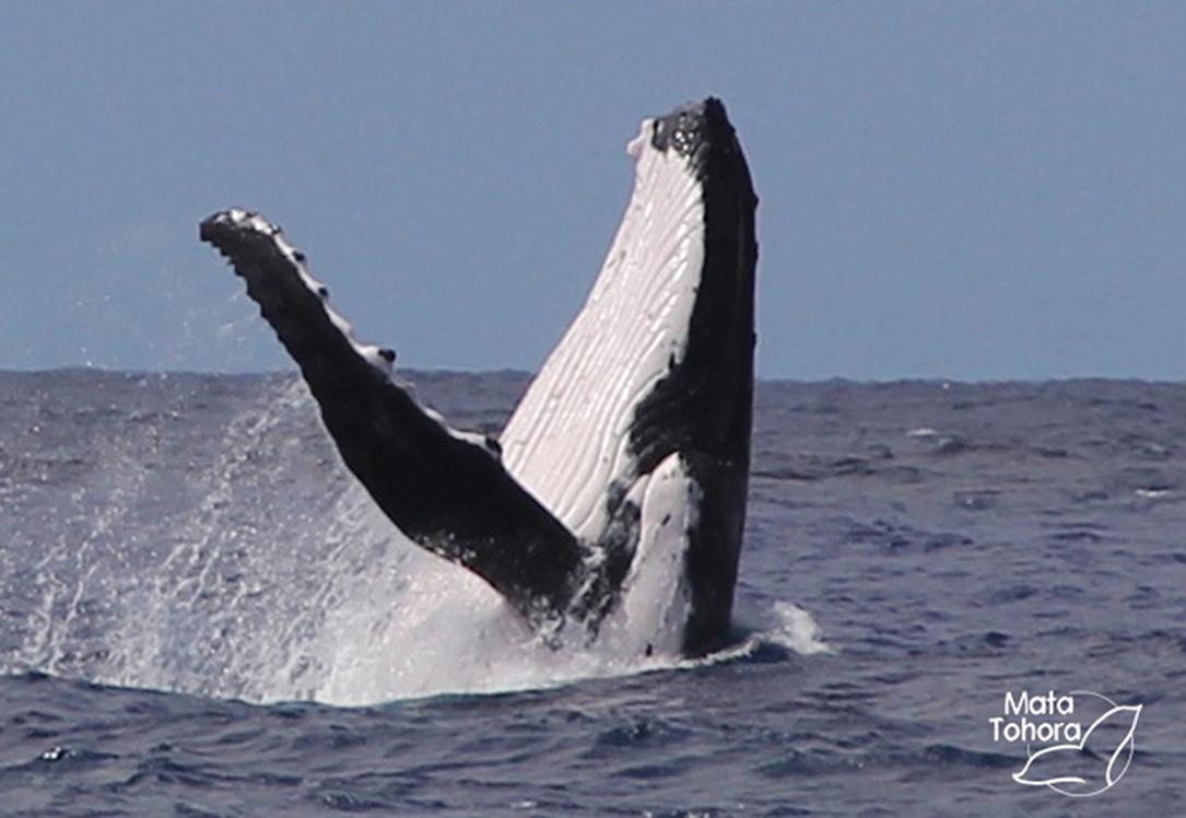 En Océanie, le nombre de baleines à bosse s'est réduit à moins de 1 % de la valeur originelle.