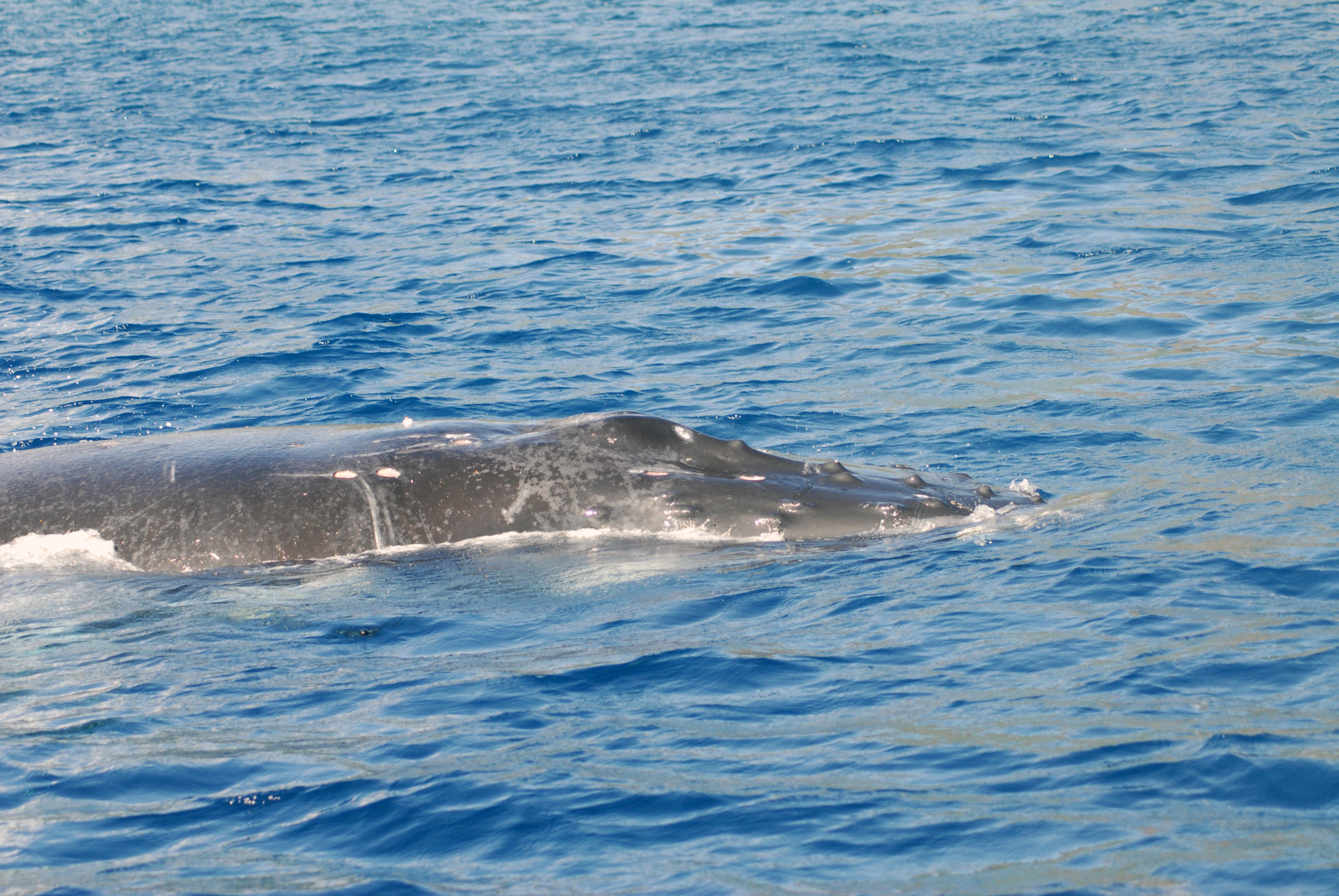 La première baleine à bosse des Îles du Vent a été vue aujourd'hui à Moorea, en baie d'Opunohu. (Photo : Michael Poole)