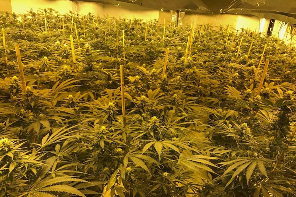 Quand la culture locale bouscule le paysage du cannabis en France