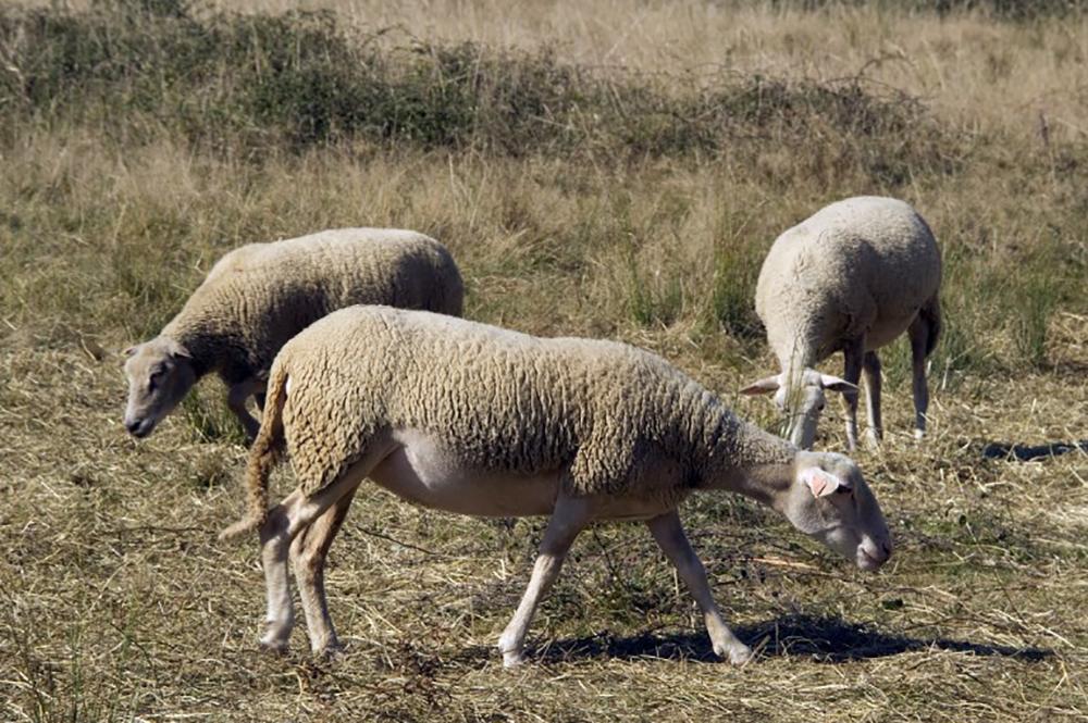 Norvège: des dizaines de vététistes mis KO par des déjections de mouton