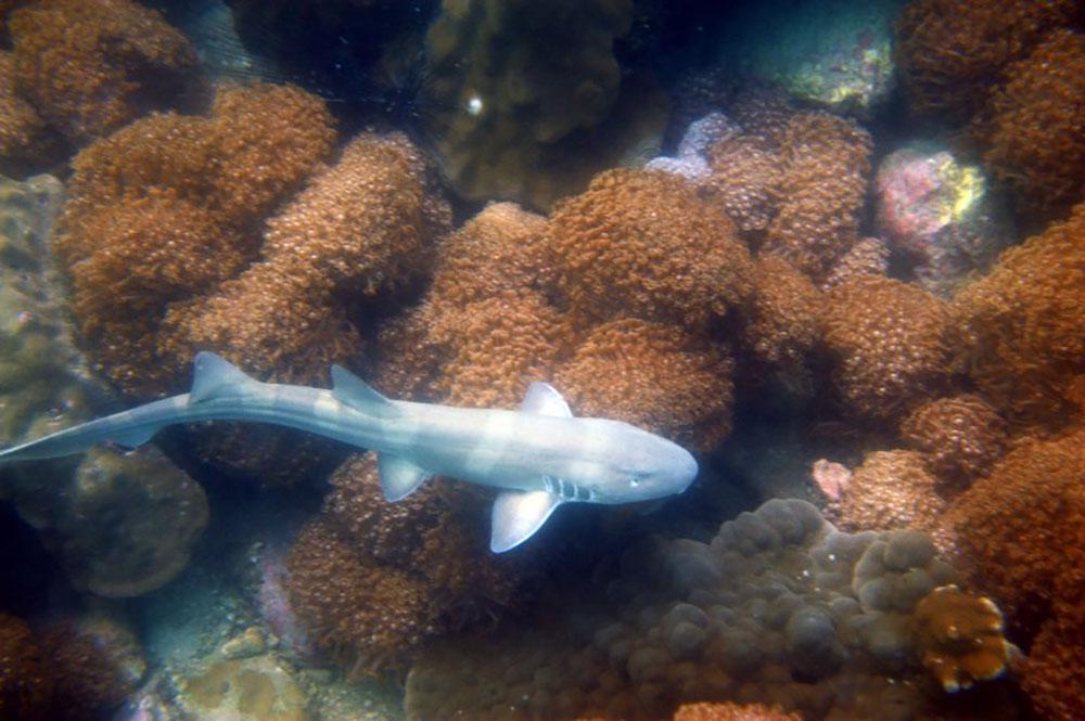 Les requins utilisent leurs épaules pour manger