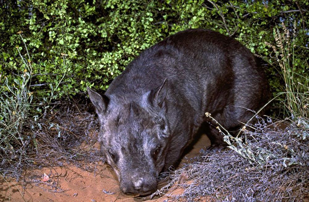 Au carnet rose australien, un rarissime wombat à nez poilu du Nord