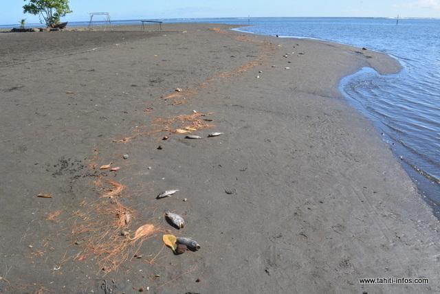 Les tilapias seraient morts par asphyxie durant la marée basse.