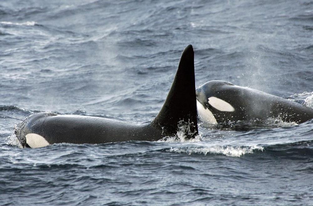 En Russie, la chasse à outrance de bélougas et orques inquiète les scientifiques