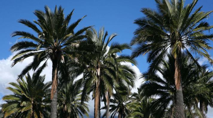 Le palmier du chili, sauvé dans son pays, pourrit redonner à l'île de Pâques son véritable aspect antérieur à l'arrivée des Polynésiens.