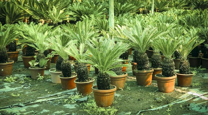 La fondation chilienne dispose de milliers de jeunes plants prêts à être amenés à l'île de Pâques si le besoin est clairement exprimé.