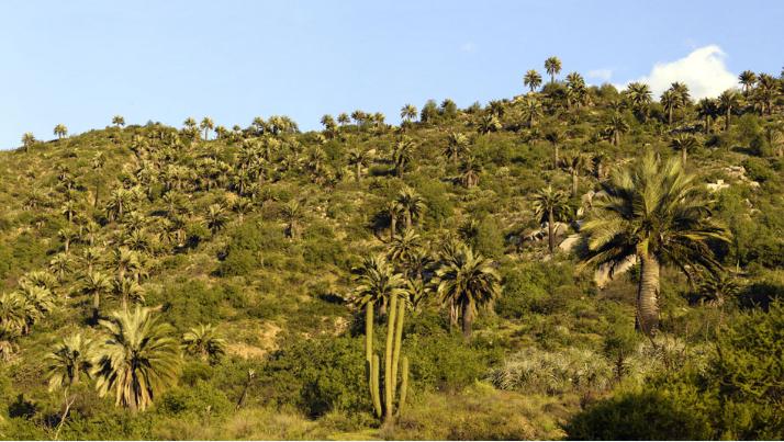 Une forêt de palmiers du Chili telle qu'il en existe aujourd'hui sur le continent.