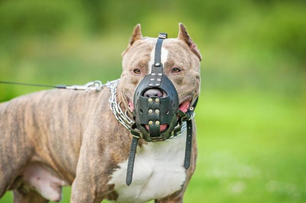 Les chiens de 1 et 2 catégories doivent être tenus en laisse et muselés dans la rue. (Photo d'illustration).