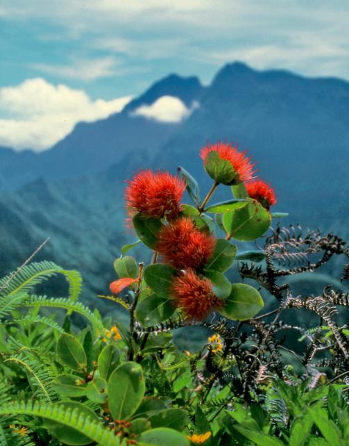 Metrosideros collina, un très bel arbuste typique de nos hauteurs. Famille des Myrtaceae.