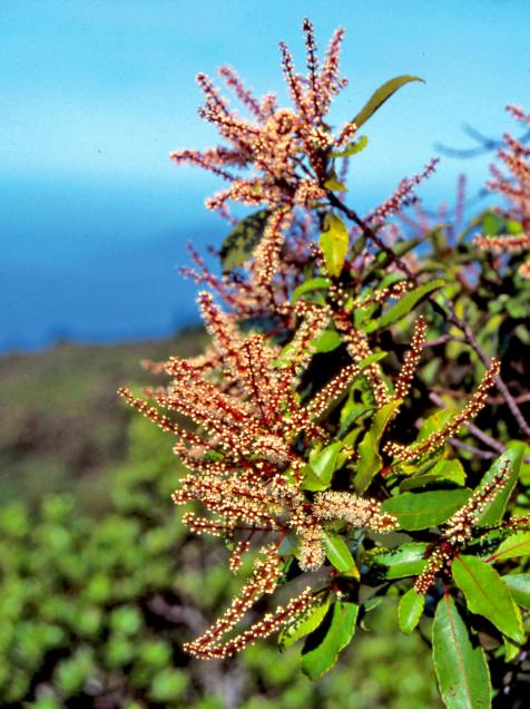 Weinmania parviflora (aito mou'a), très bel arbre des montagnes de la Société. Il fleurit presque toute l'année. Famille de Cunoniaceae.