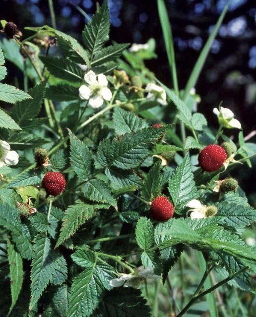 Rubus rosaefolius, les petites framboises tahitiennes. Ne récoltez que les fruits en hauteur, ceux près du sol peuvent être souillés par de l'urine animale et porteurs de la leptospirose. Famille des Rosaceae.