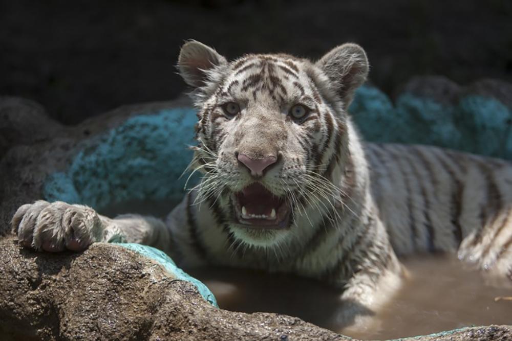 "Un tigre baptisé ""Gignac"" en l'honneur de l'attaquant français de Monterrey"