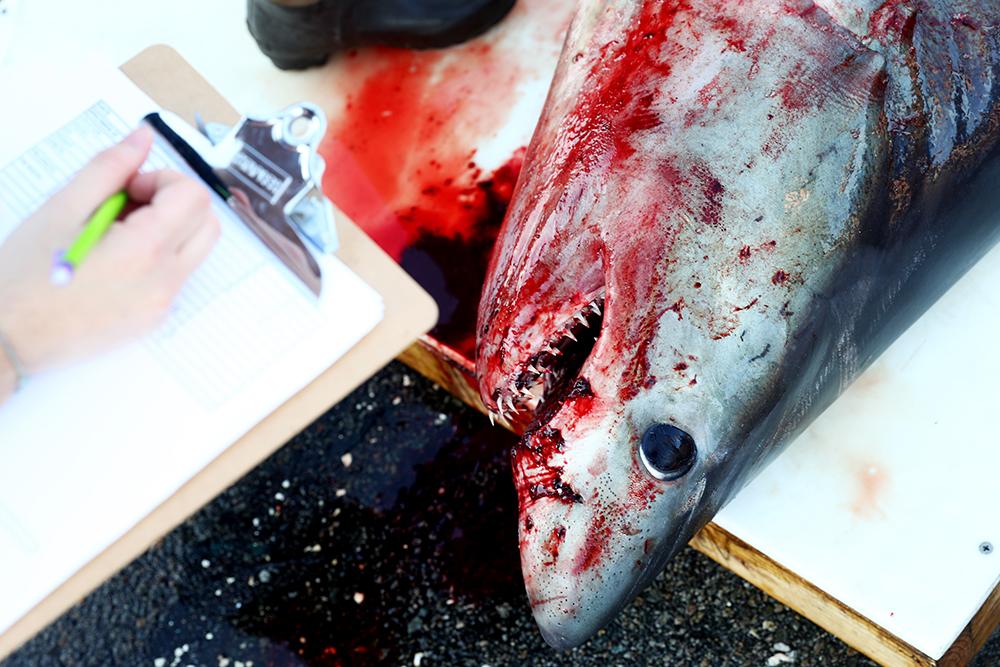 Galapagos: un équipage chinois détenu pour pêche illégale de requins