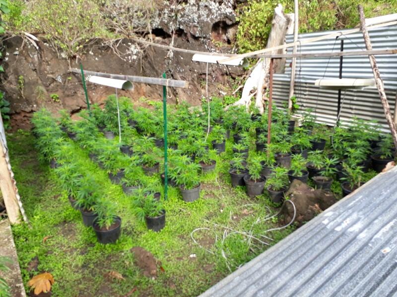427 plants de pakalolo détruits à Huahine