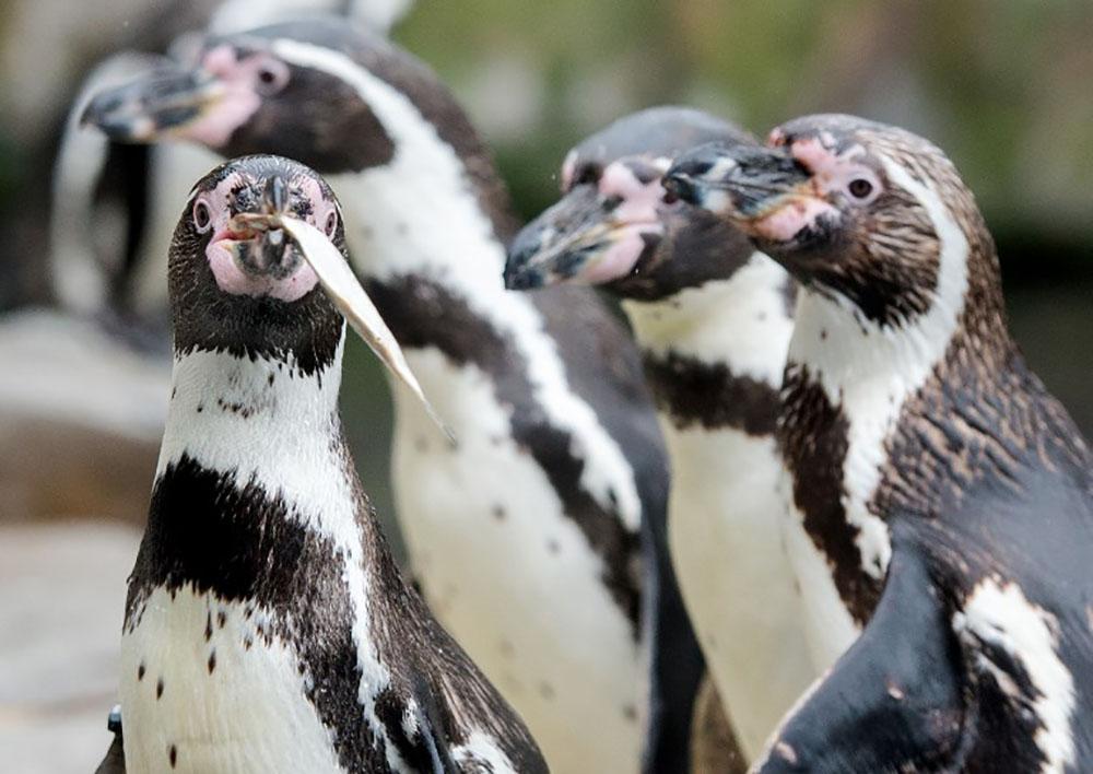 Pour protéger les pingouins, le Chili dit non à un projet minier