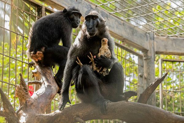«Il semble que Niv, qui a quatre ans et a atteint l'âge de la maturité sexuelle, ait des difficultés à trouver un partenaire. Cela explique sans doute la fibre maternelle qu'elle exprime envers ce poulet qui joue un rôle de substitut», diagnostique Mor Porat. (Photo AFP)