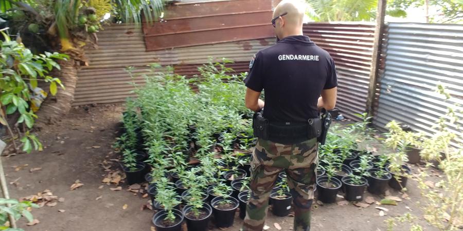 Plus de 500 plants de cannabis découverts à Taiarapu Ouest