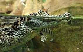 Harvey et ses inondations font surgir la crainte des alligators