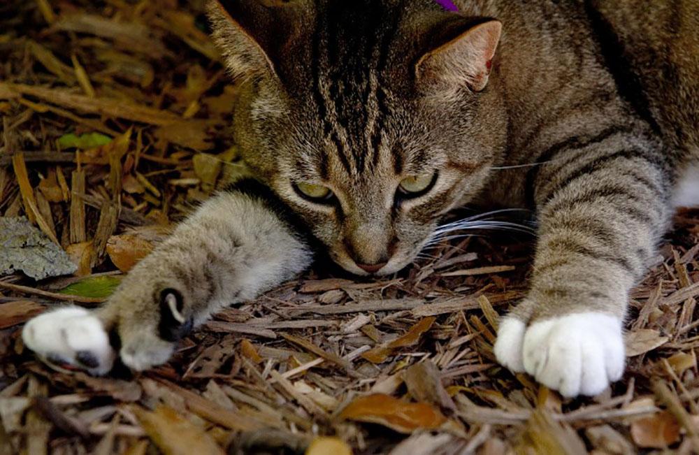 Irma: à Key West, les 54 chats à six doigts d'Hemingway sains et saufs