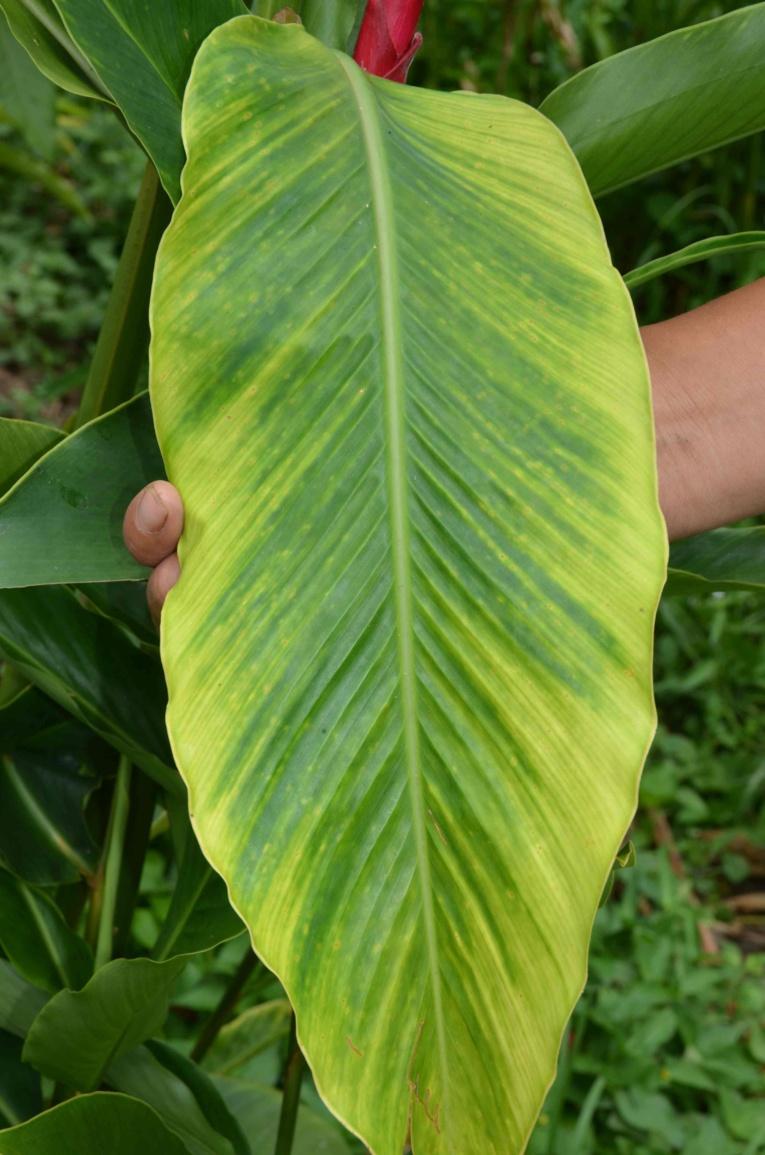Le Banana Bunchy Top Virus est arrivé dans les îles