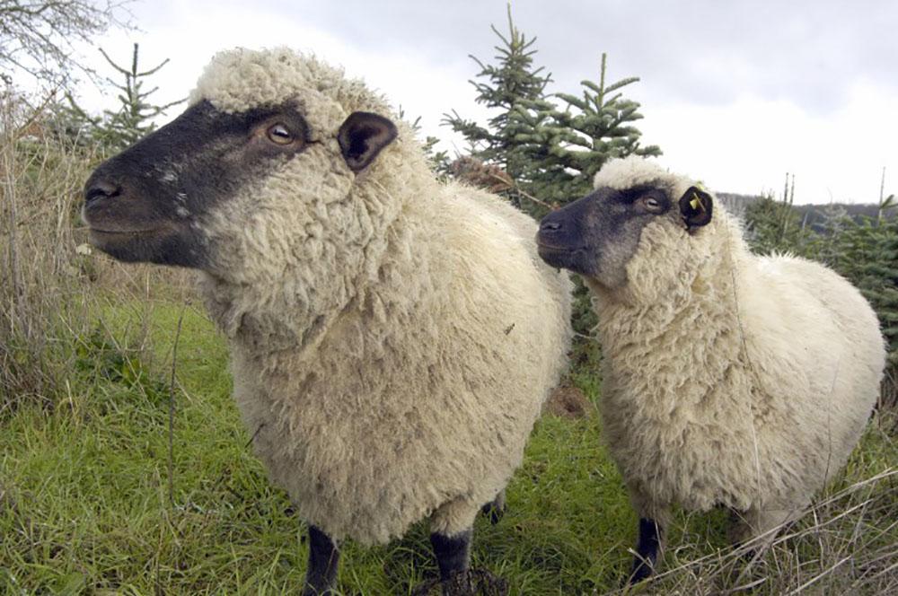Les moutons aiment-ils courir ou non?
