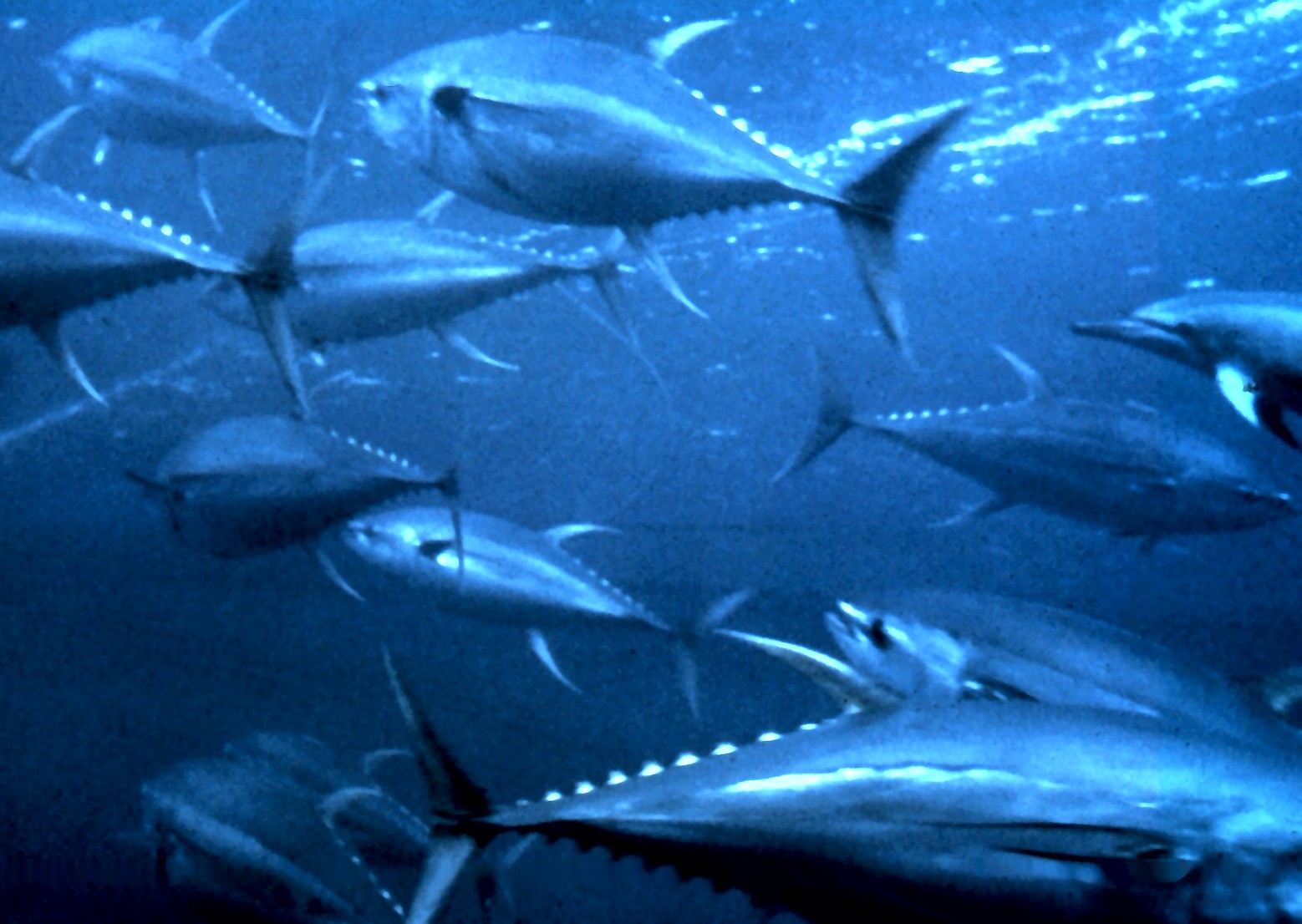 Des thons albacore (yellowfin tuna), une ressource précieuse encore abondante en Polynésie. (crédit photo : OAR/National Undersea Research Program)