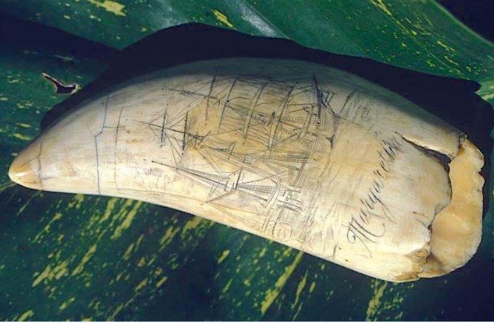 Un trophée de baleinier, daté du milieu du XIXe siècle, une dent de cachalot sur laquelle a été gravé un scrimshaw représentant le Margaretha, un « whaler » de Nantucket.
