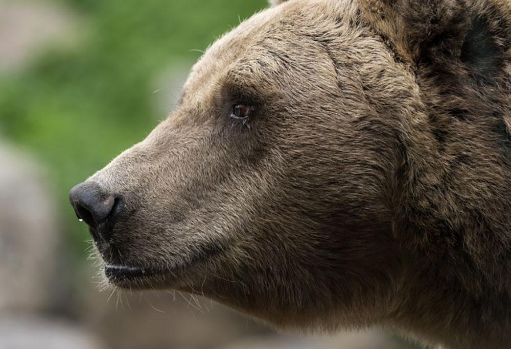 Des ours affamés sèment la terreur dans l'Extrême-Orient russe