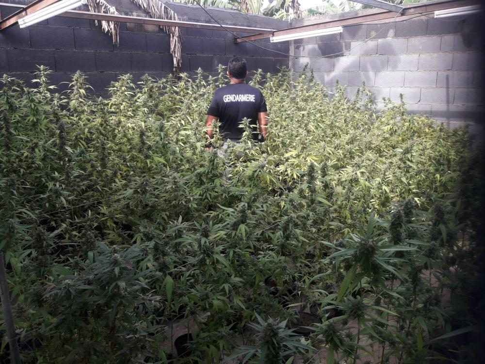 Plus de 4000 plants de cannabis retrouvés par les gendarmes