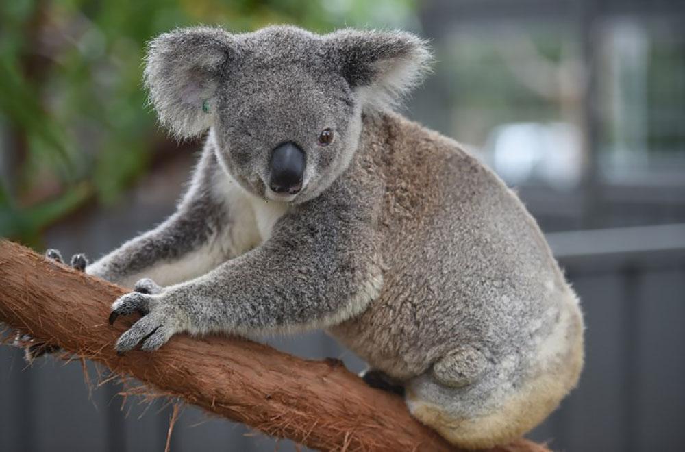 mutilations d 39 animaux en australie un koala retrouv les oreilles coup es. Black Bedroom Furniture Sets. Home Design Ideas