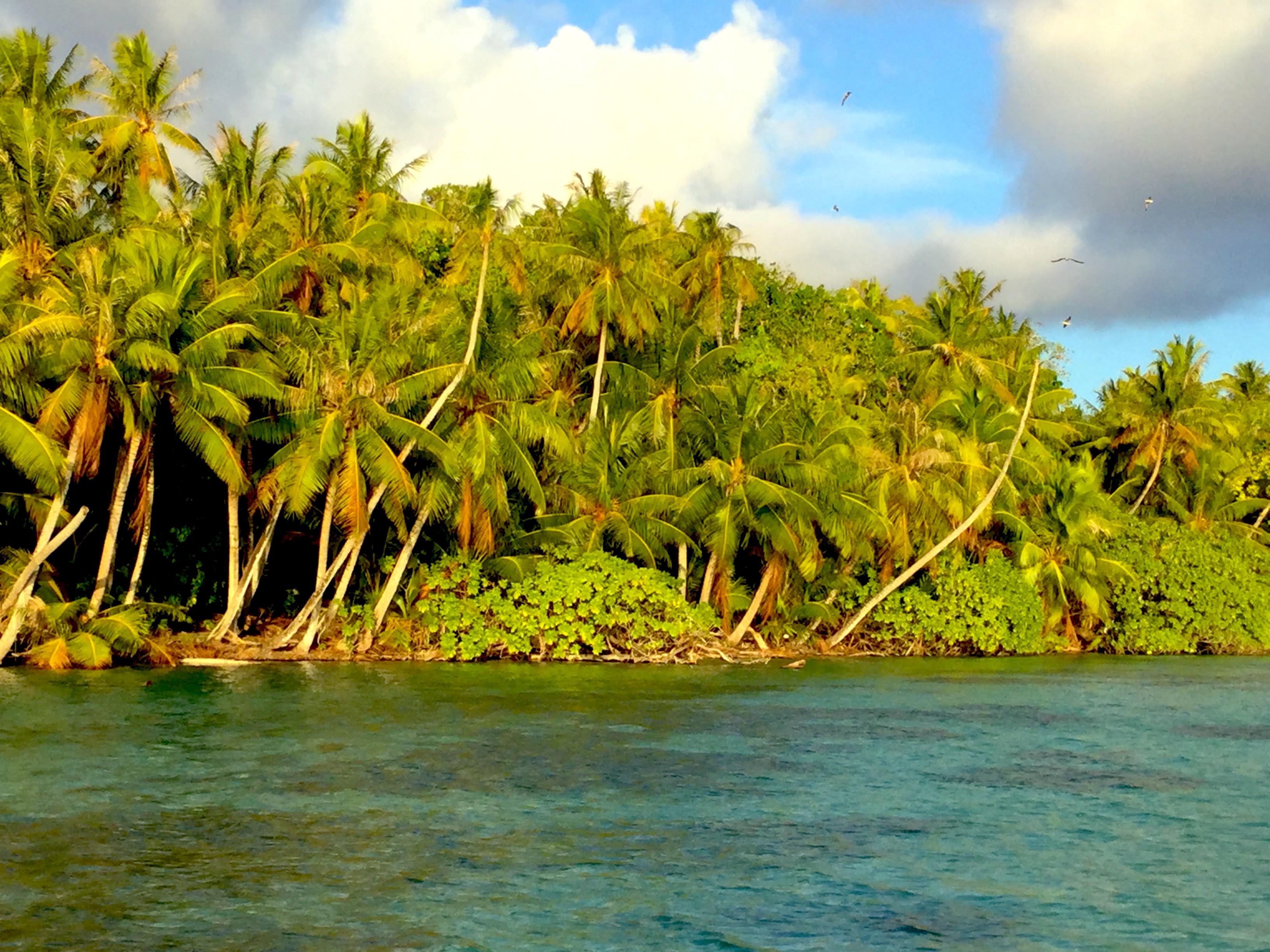 De loin, les sommets des « gatae » (Pisonia grandis) dépassent les cocotiers. C'est ici que se trouve la dernière forêt indigène de Ahe.