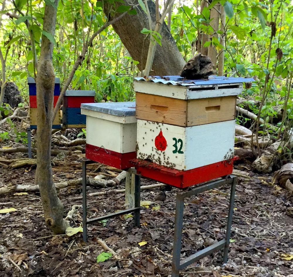 La forêt naturelle aux Tuamotu est une excellente source de nourriture pour les abeilles, et certains apiculteurs l'ont bien compris.