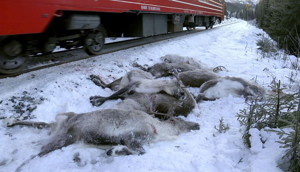 Norvège: nouvelle collision sanglante entre un train et des rennes