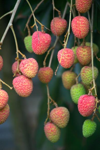 Le fruit emblématique de Tubuai est sans conteste possible le letchi qui est à maturité à Noël.