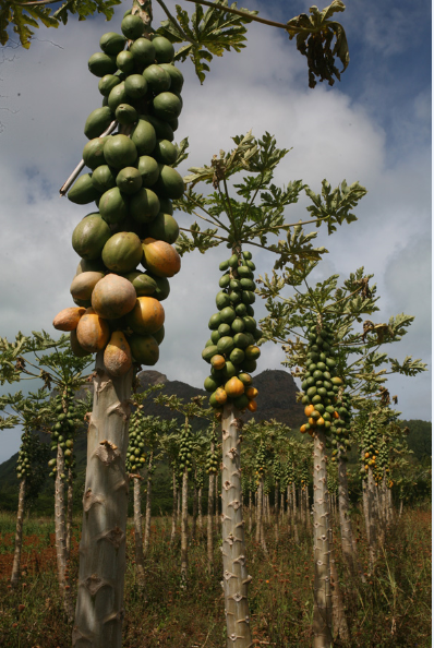 Un champ de papayes généreux en fruits goûteux.