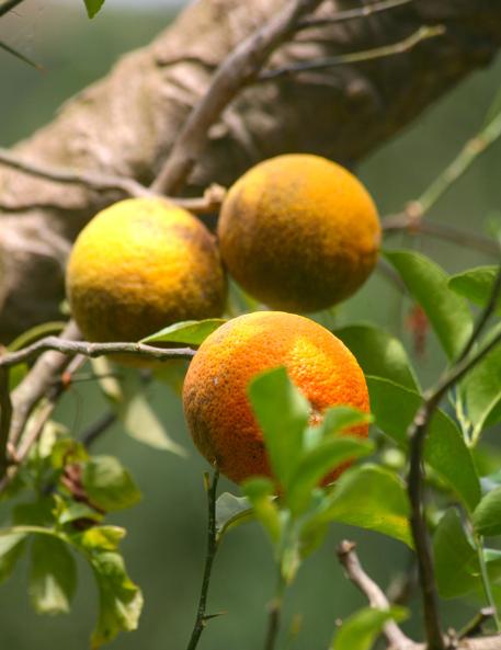 Des oranges ? Des bigarades ? Vous n'y êtes pas, ce sont des citrons, une variété très colorée et délicieuse.