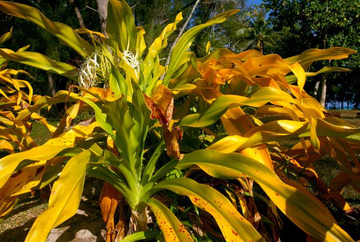 Les « poireaux de bord de mer », appelés riri en Tahitien, lis de mer  en Français (Crinum asiaticum) forment une véritable barrière dorée tout autour de l'île.