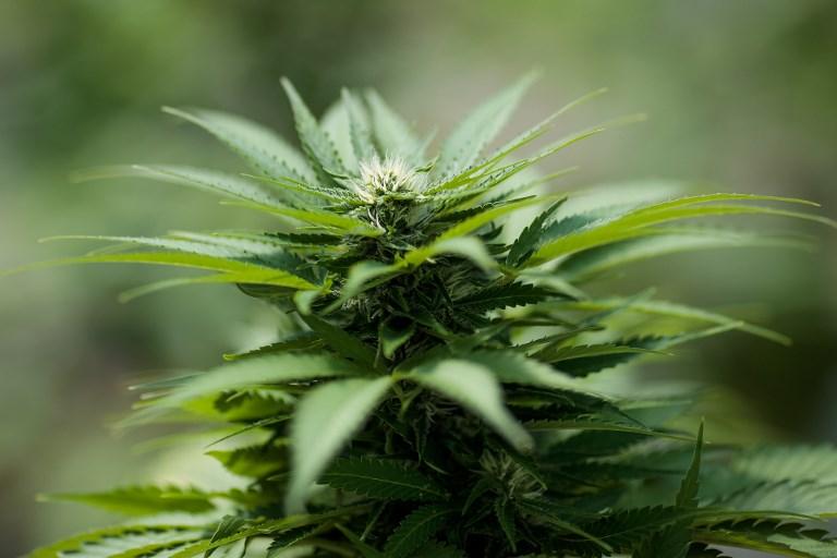 En Israël, un business en herbe: le cannabis en ligne