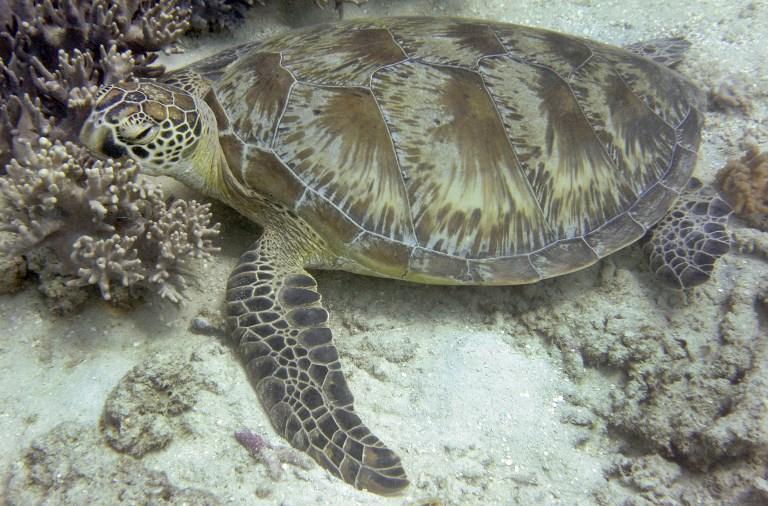Climat: de plus en plus de tortues femelles en Australie