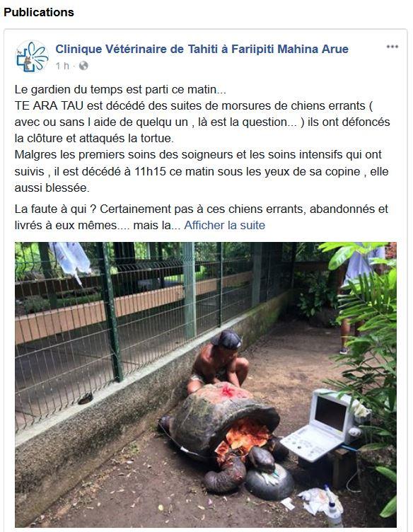 Ce mercredi matin, un vétérinaire de la clinique de Fariipiti s'est rendu à Papeari pour donner les premiers soins aux deux tortues.