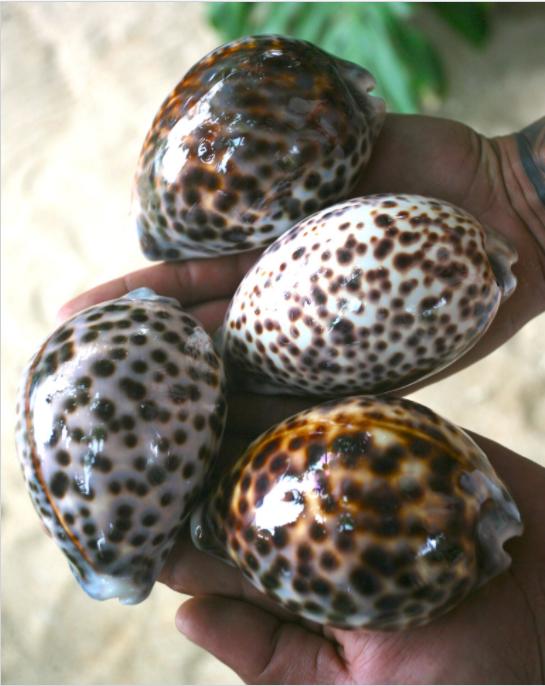 Les porcelaines du lagon (Cyprarea tigris) dépassent allègrement les 100 mm de longueur à Tubuai.