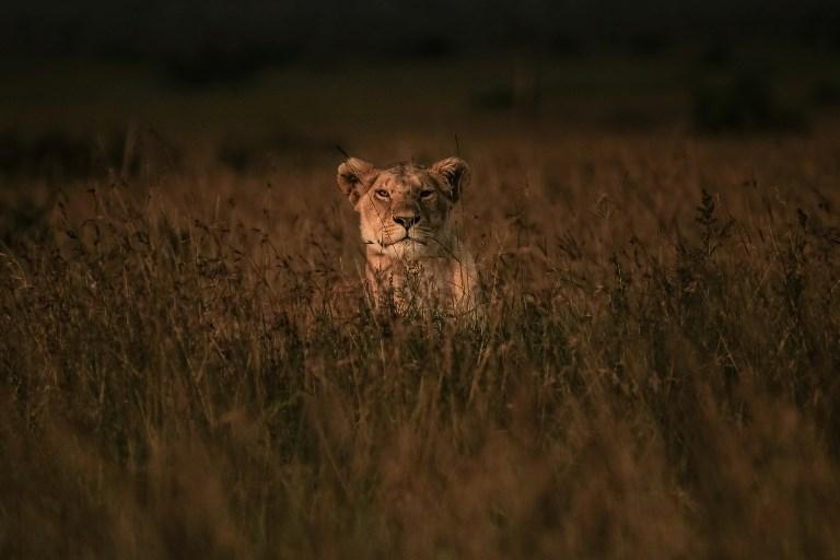 Un braconnier présumé dévoré par des lions en Afrique du Sud
