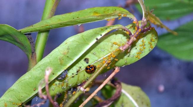 Une invasion de pucerons jaunes nourrit une coccinelle Coelophora inaequalis et sa larve, particulièrement vorace