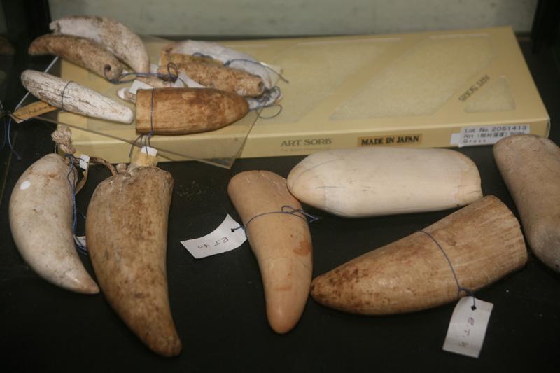 Une collection très rare d'anciennes dents de cachalot datant de la période pré européenne et de l'arrivée des premiers baleiniers ; les dents étaient portées en collier, sans motifs gravés faute d'outils en fer (musée Rose Corser, Nuku Hiva).