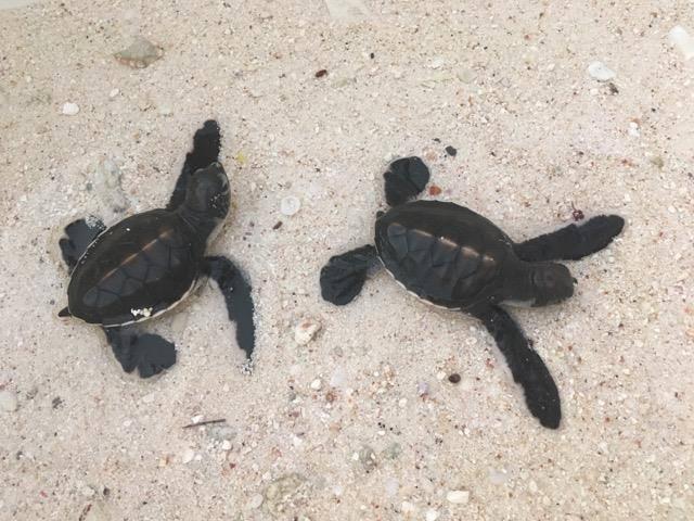 Moorea : Deux petites tortues trouvées dans un jardin