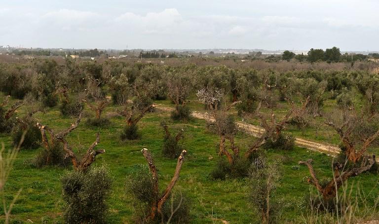 """La bactérie """"tueuse d'oliviers"""" détectée sur des oliviers et des chênes verts en Corse"""