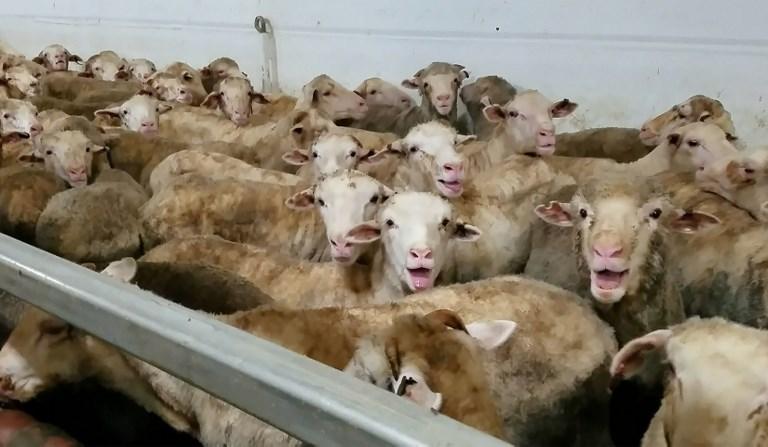 Un cargo de moutons immobilisé en Australie après une vidéo alarmante