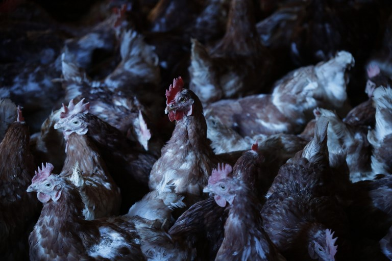 Des poules sauvées de l'abattoir prennent leur retraite en Haute-Vienne