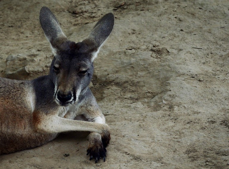 Un kangourou succombe à des jets de pierres de visiteurs dans un zoo chinois