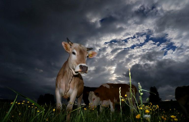 Veaux, vaches, cochons et coups de pression: la cause animale à l'Assemblée